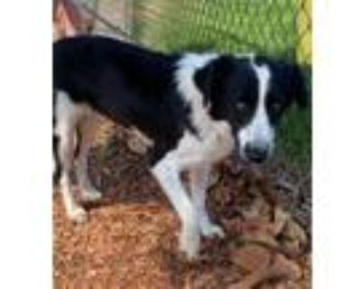 Adopt Emma a Black - with White Border Collie / Mixed dog in Culver City