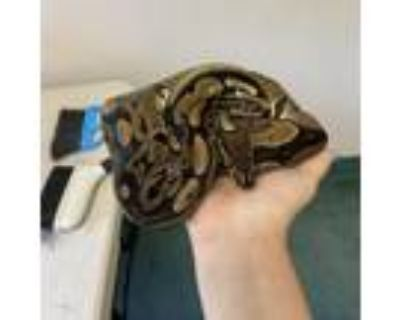Adopt Kyro (Ball Python) #21-546 a Rat