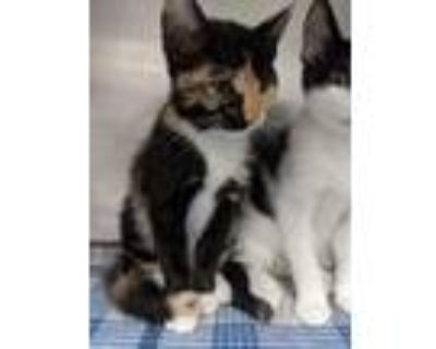 Adopt 48241261 a Orange or Red Domestic Shorthair / Mixed cat in El Paso