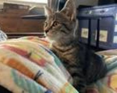 Adopt Nom Noms a Brown Tabby Domestic Shorthair / Mixed (short coat) cat in