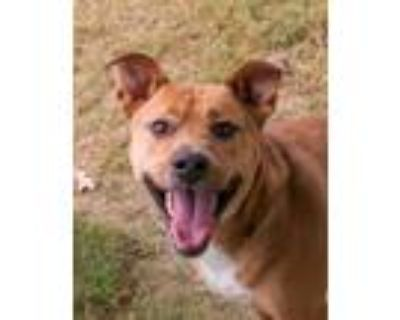 Adopt Oliver a Tan/Yellow/Fawn American Staffordshire Terrier / Mixed dog in