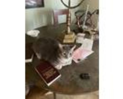 Adopt Gris a Gray or Blue (Mostly) American Curl / Mixed cat in Tucson
