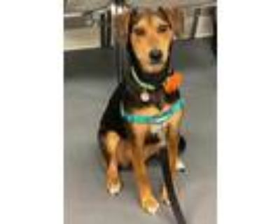 Adopt Sandy a Black Hound (Unknown Type) / Shepherd (Unknown Type) / Mixed dog