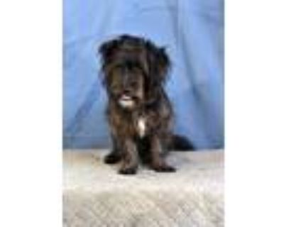 Adopt Wybie a Shih Tzu / Jack Russell Terrier / Mixed dog in Fort Worth