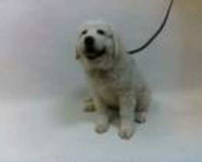 Adopt 21-07864 a Great Pyrenees