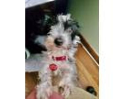 Adopt Mustang Sally a White - with Black Westie, West Highland White Terrier /