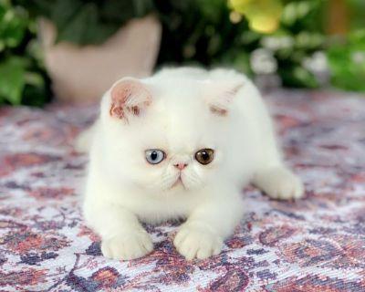 Exotic- kittens aka shorthair Persians