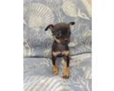 Adopt Mexicali a Japanese Chin, Yorkshire Terrier