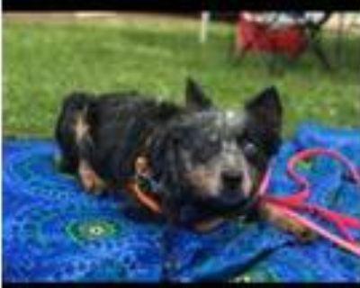 Adopt Macey Moo a Australian Cattle Dog / Blue Heeler