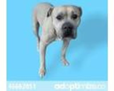 Adopt Star a Tan/Yellow/Fawn American Pit Bull Terrier / Mixed dog in El Paso