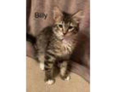 Adopt Billy L a Brown Tabby Domestic Mediumhair / Mixed cat in Modesto