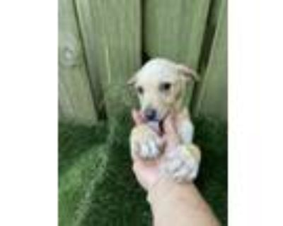Adopt Puppies! 3 month old playful pups! a Mixed Breed, Labrador Retriever