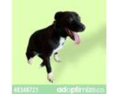 Adopt Inca a Pit Bull Terrier, Mixed Breed