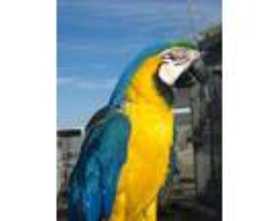 Adopt Topaz a Macaw
