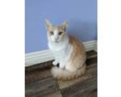 Adopt Nestor a Orange or Red (Mostly) Domestic Longhair (long coat) cat in