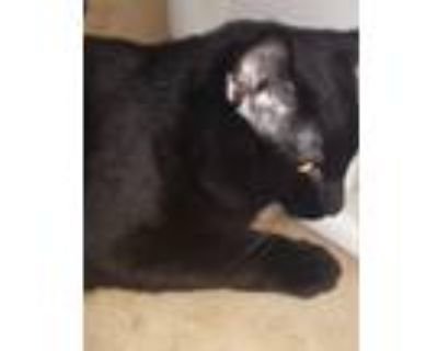 Adopt Kilo a Black (Mostly) Bombay / Mixed (short coat) cat in Louisville