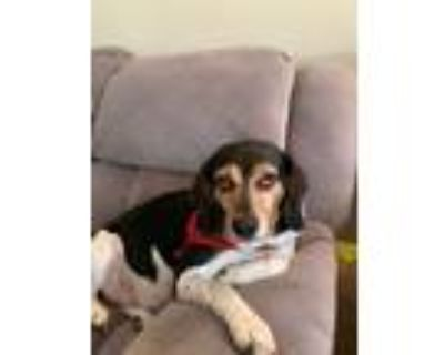 Adopt Socks a Black - with White Beagle / Basset Hound / Mixed dog in Suffolk