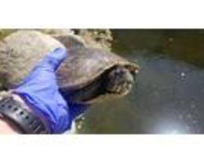 Adopt A092813 a Turtle