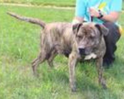 Adopt SHOGUN a Pit Bull Terrier