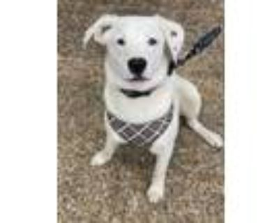 Adopt Leonard a Border Collie, Labrador Retriever
