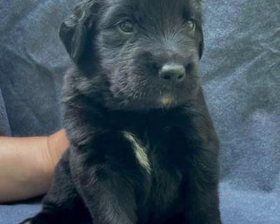 Golden Mountain Dog Puppy