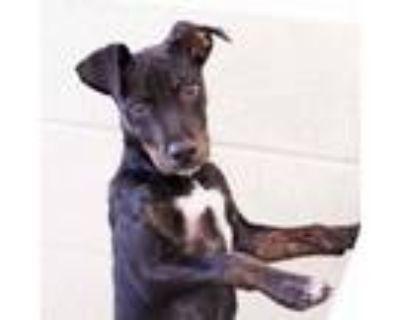 Adopt Schmidt a Terrier, Mixed Breed