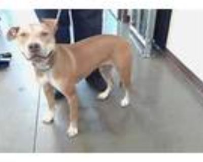 Adopt POPPY a Tan/Yellow/Fawn - with White American Pit Bull Terrier / Shar Pei