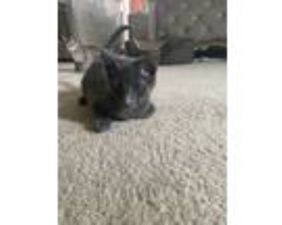 Adopt Veloster a Gray or Blue Domestic Shorthair / Mixed cat in Merrifield
