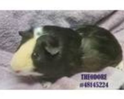 Adopt Theodore a Black Guinea Pig / Guinea Pig / Mixed small animal in Wilkes