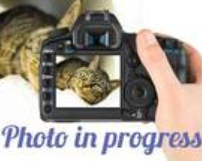 Adopt TOBY a Gray or Blue Domestic Mediumhair / Mixed (medium coat) cat in