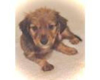 Adopt Butler a Brown/Chocolate - with Black Cocker Spaniel / Labrador Retriever