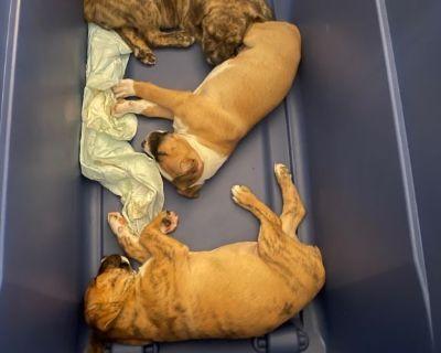 Boxer mix German Rotti pups