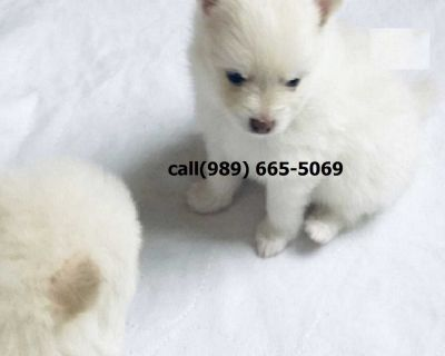 Pomeranian Puppies For Sale In Oklahoma