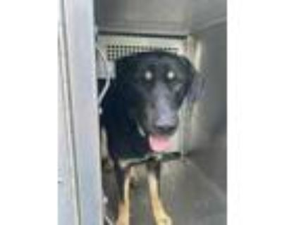 Adopt 48004427 a Black German Shepherd Dog / Mixed dog in Fort Worth
