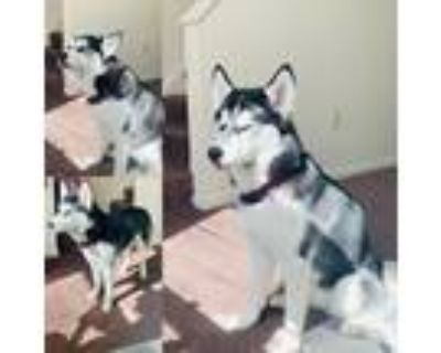 Adopt Bella a Black - with White Husky / Mixed dog in Indianapolis