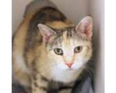 Adopt Cleo a Gray or Blue Domestic Shorthair / Domestic Shorthair / Mixed cat in