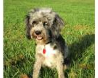 Adopt Abby a Merle Australian Shepherd / Poodle (Miniature) / Mixed dog in