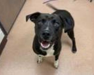 Adopt Tribby a Black American Pit Bull Terrier / Mixed dog in Boulder