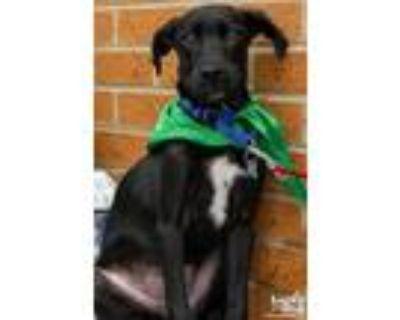Adopt Mallory a Black - with White Labrador Retriever / Mixed dog in Washington