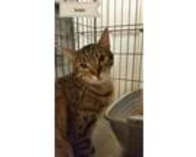 Adopt Ivan a Brown or Chocolate (Mostly) Domestic Shorthair / Mixed (short coat)