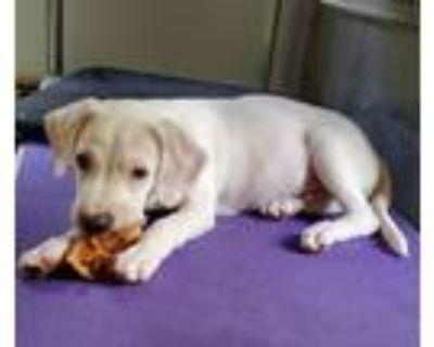 Adopt Fergus a Tan/Yellow/Fawn Labrador Retriever / Mixed Breed (Medium) / Mixed