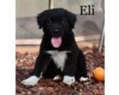 Adopt Eli a Border Collie, Labrador Retriever