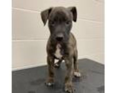 Adopt Porthos a Brindle Pit Bull Terrier / German Shepherd Dog / Mixed dog in