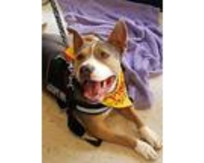 Frankie, American Staffordshire Terrier For Adoption In Palm Springs, California
