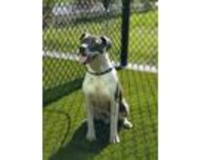 Adopt Blake a Pit Bull Terrier / Mixed dog in LAFAYETTE, LA (32037747)