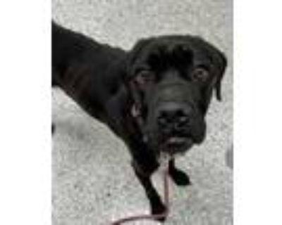Adopt Gumdrop a Black Boxer / Labrador Retriever / Mixed dog in Kansas City