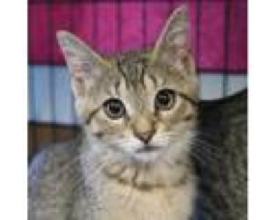 Adopt Dorothy a Brown or Chocolate Domestic Shorthair / Mixed cat in Buffalo