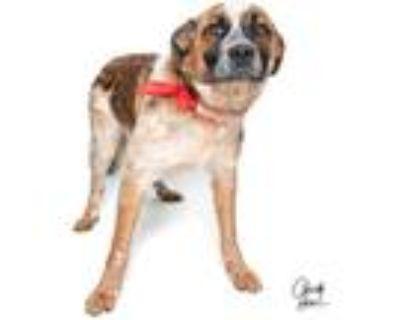 Adopt Salami ***RESCUE CENTER*** a St. Bernard / Australian Shepherd dog in