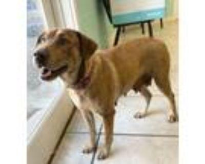 Adopt Millie a Red/Golden/Orange/Chestnut Labrador Retriever / Mixed dog in