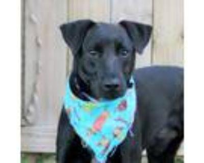 Adopt Lancelot (Main Campus) a White Labrador Retriever / Mixed dog in
